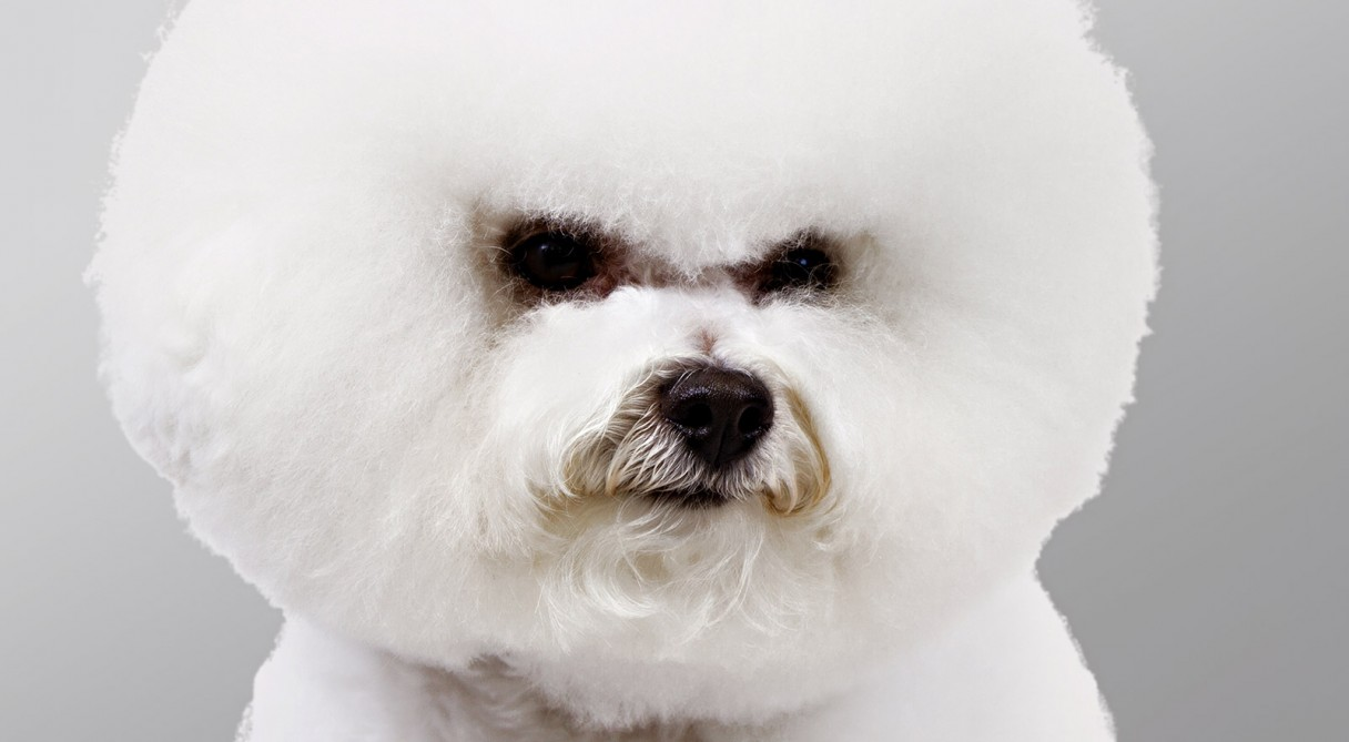 Bichon Frise Dog Breed Information - American Kennel Club Bichon Frise Akc