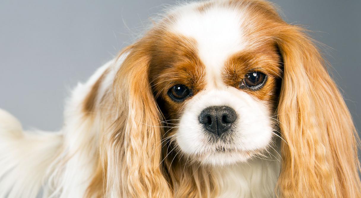 Cavalier King Charles Spaniel Dog Breed Information American Kennel ...