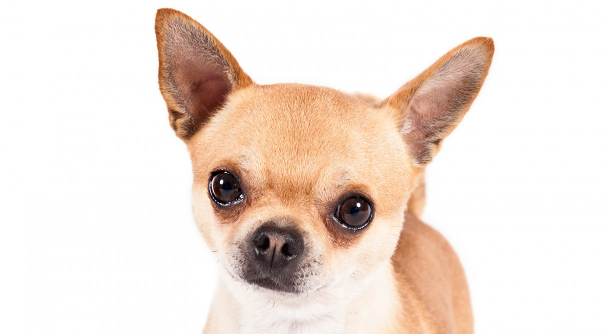 Apple Head vs Deer Head Chihuahua: Know the Difference [Guide ...
