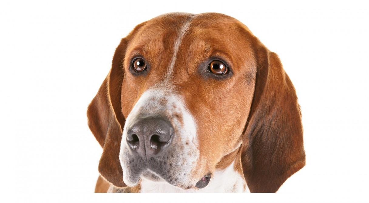 English Foxhound Dog Breed Information