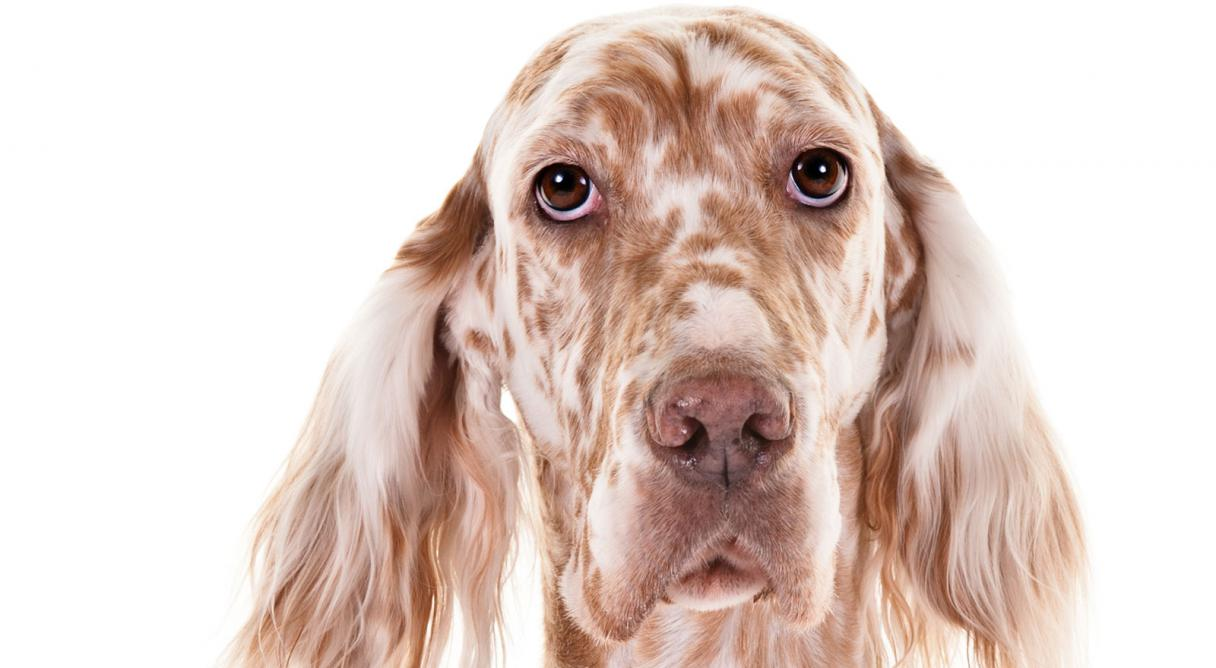 English Setter Dog Breed Information - American Kennel Club