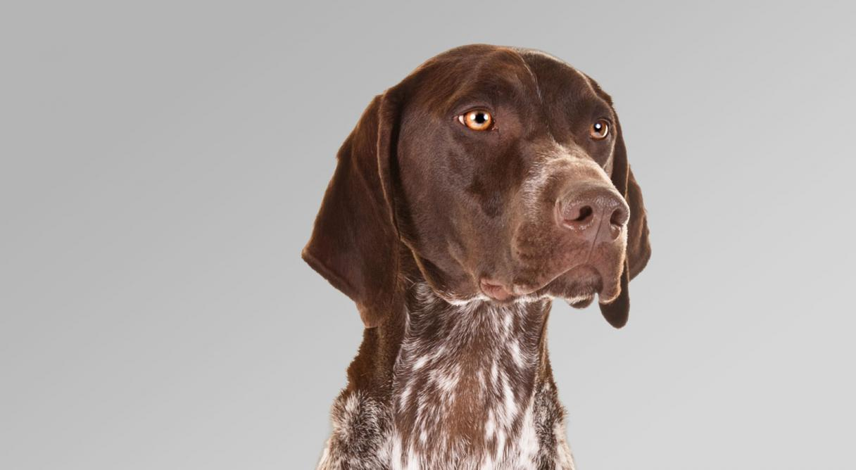 German Shorthaired Pointer Dog Breed Information - American Kennel ...