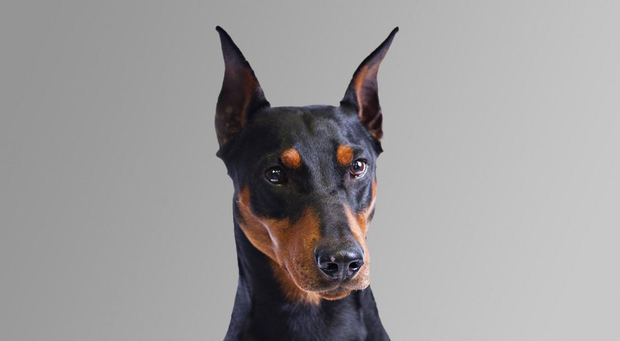 German Pinscher Dog Breed Information - American Kennel Club