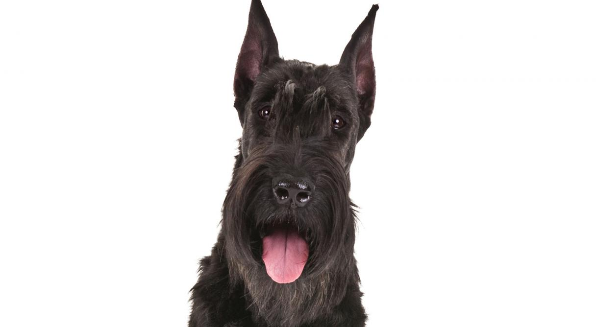 giant schnauzer dog breed information