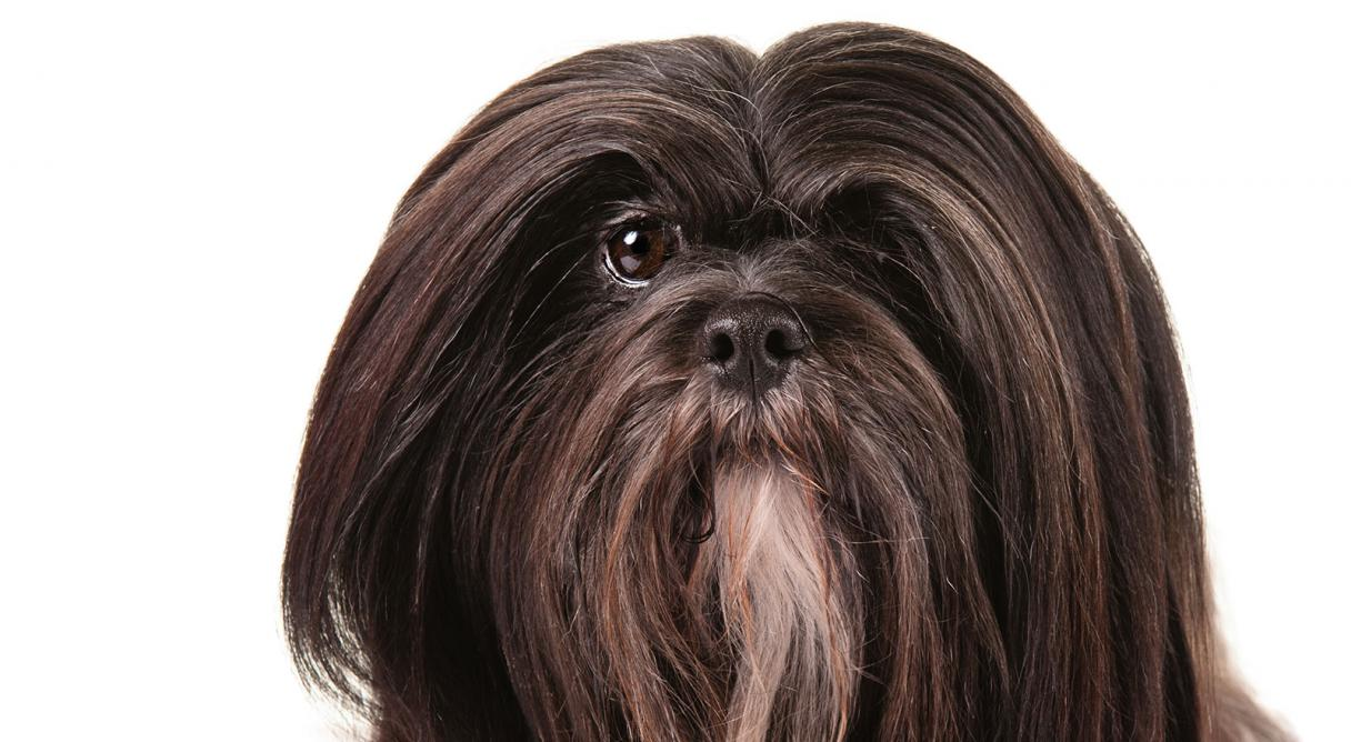 lhasa apso dog breed information   american kennel club
