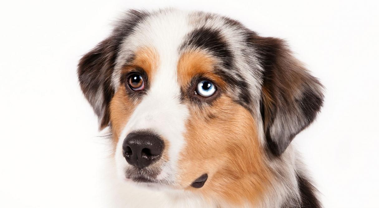 ... American Shepherd Dog Breed Information - American Kennel Club