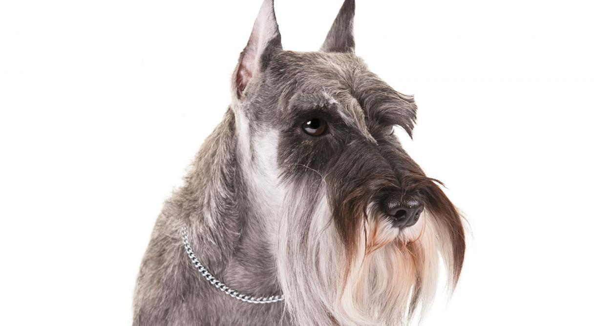 miniature schnauzer dog breed information american kennel club