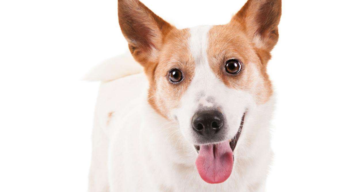 Norrbottenspets Dog Breed Information American Kennel Club