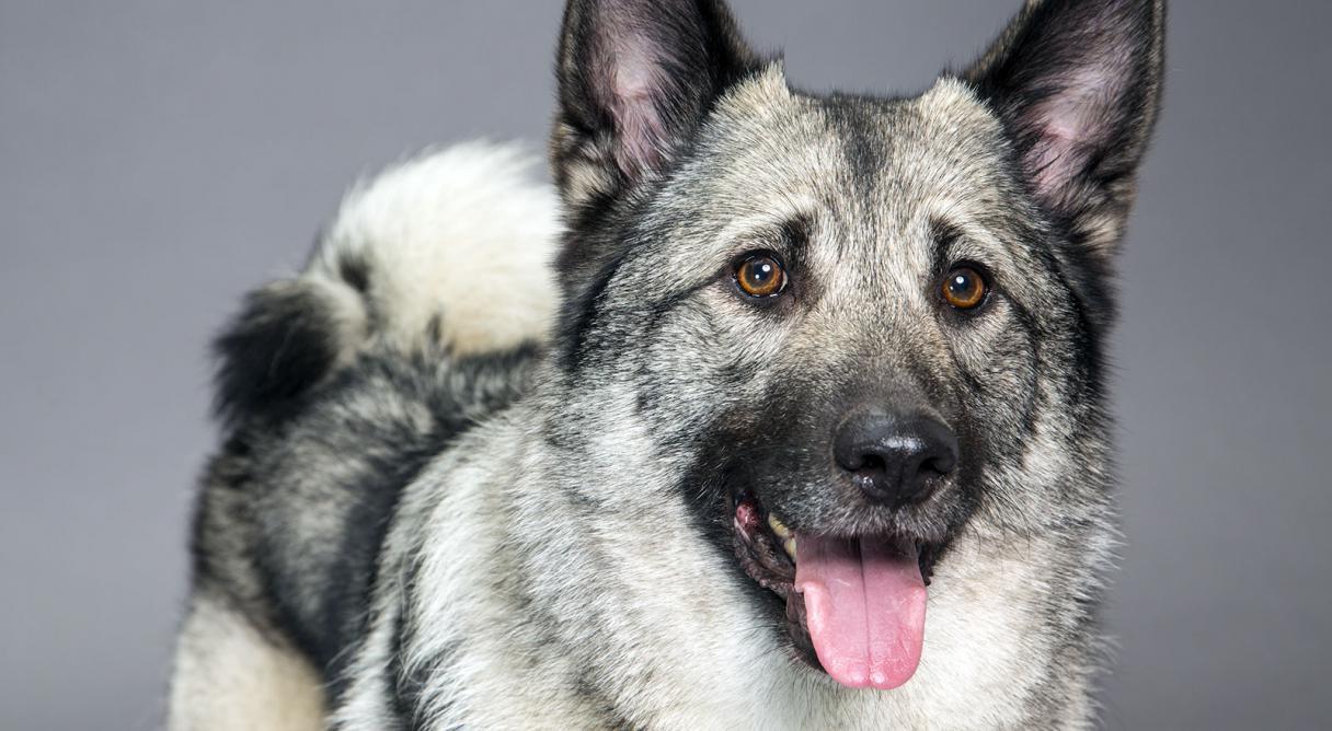 Norwegian Elkhound Dog Breed Information - American Kennel