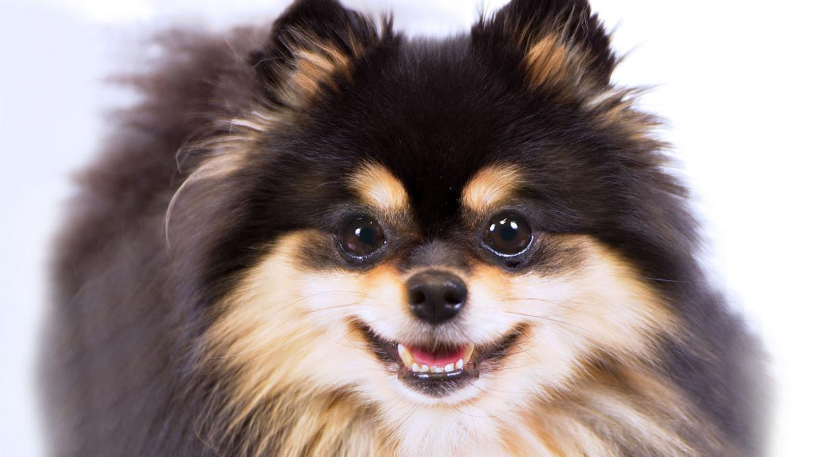 pomeranian club of america american kennel club contact akc autos post 1013
