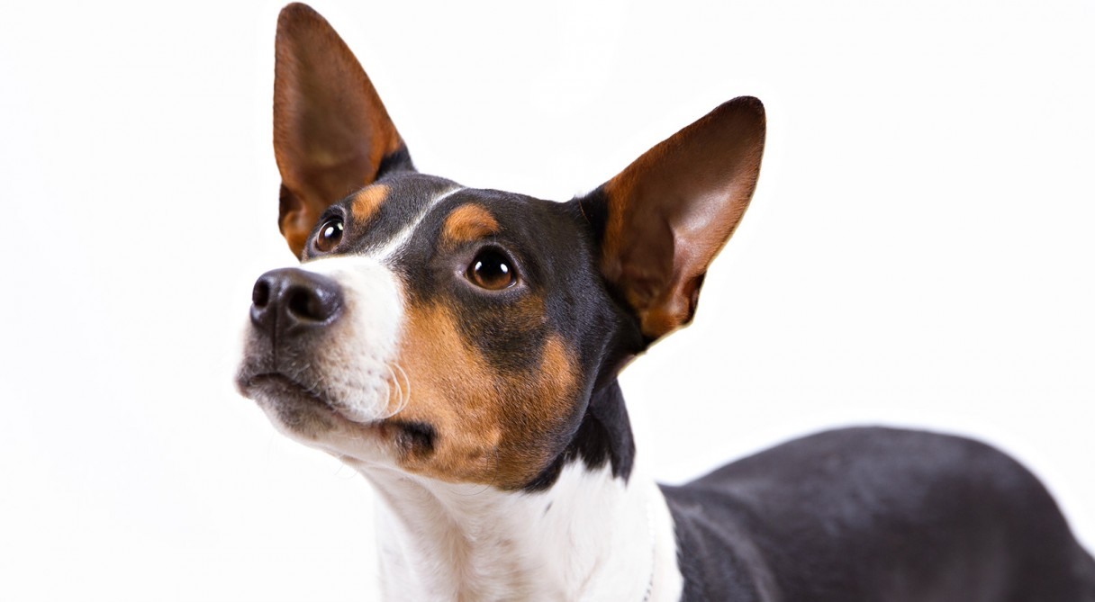 akc rat terrier rat terrier dog breed information american kennel club 4944