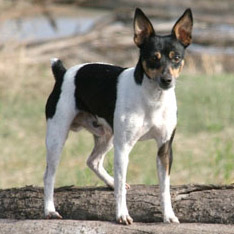 akc rat terrier terrier group american kennel club 7177