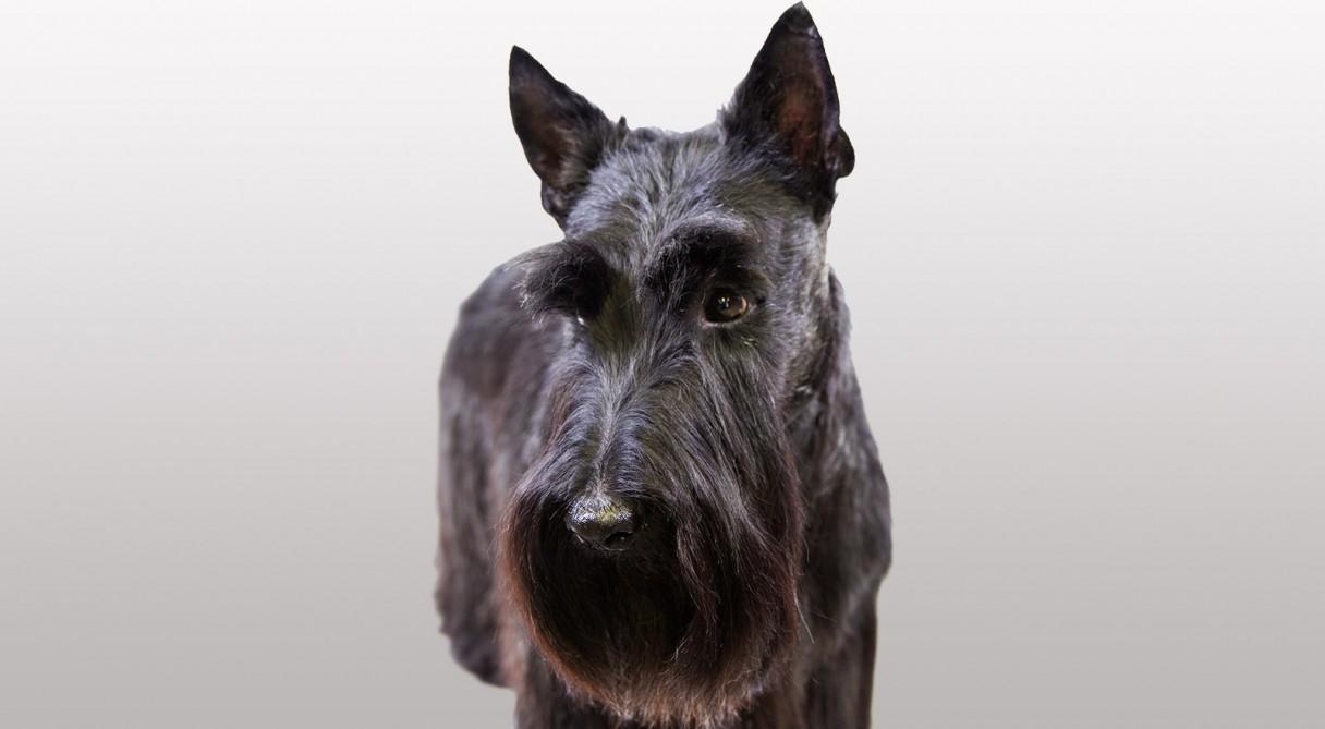Scottish Terrier Scottie Dog Breed Information