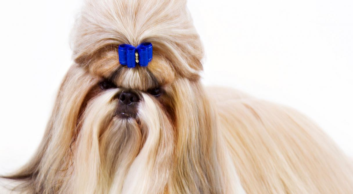 Dogs that look like shih tzu