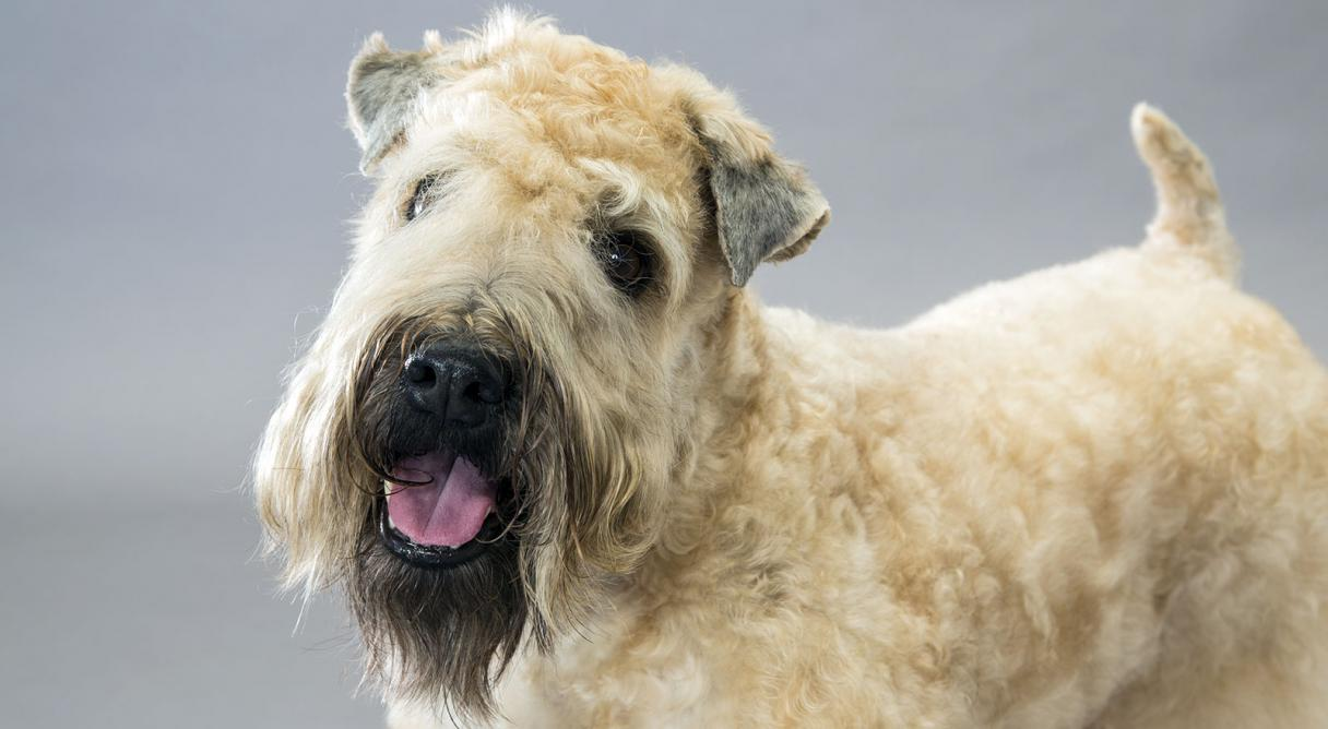 Soft Coated Wheaten Terrier Dog Breed Information