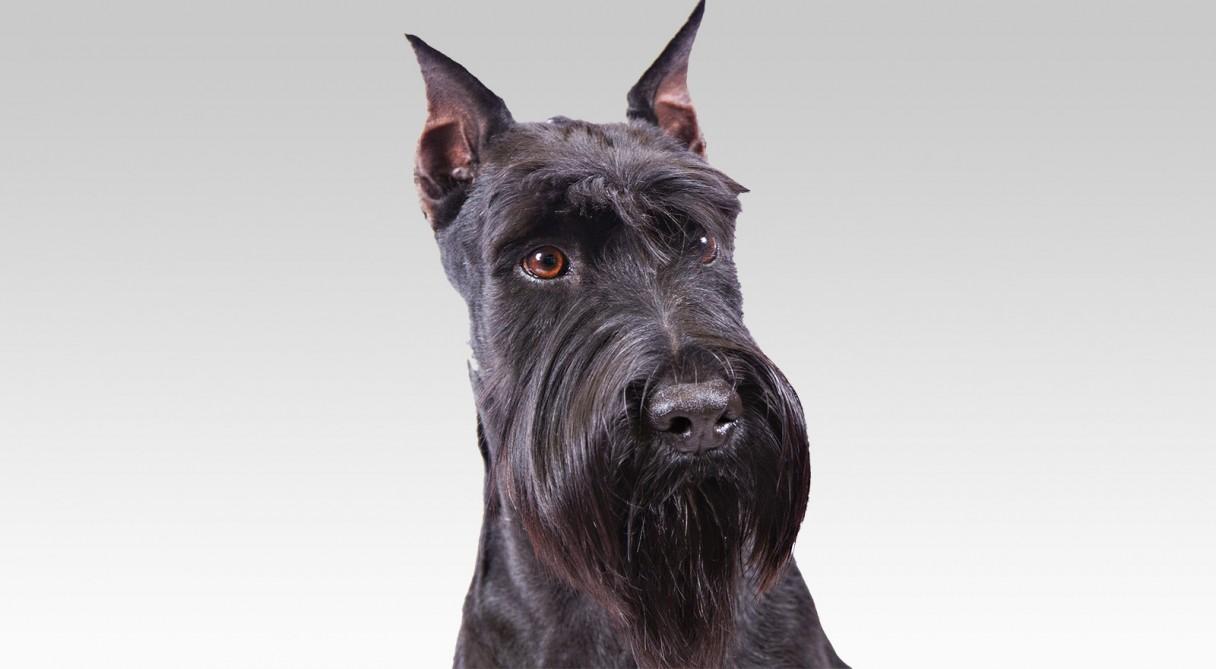 Standard Schnauzer Info Standard Schnauzer Dog...