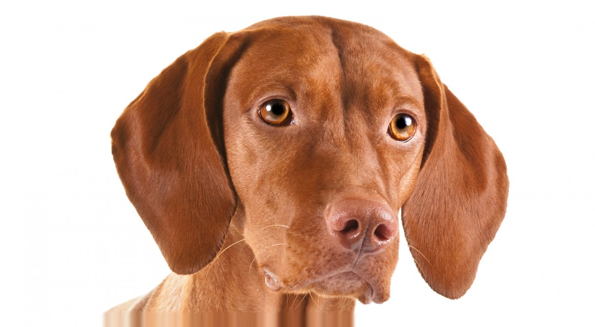 vizsla dog breed information american kennel club