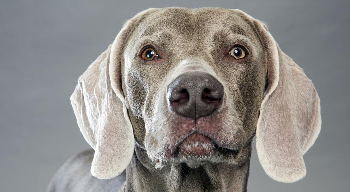weimaraner dog breed information american kennel club