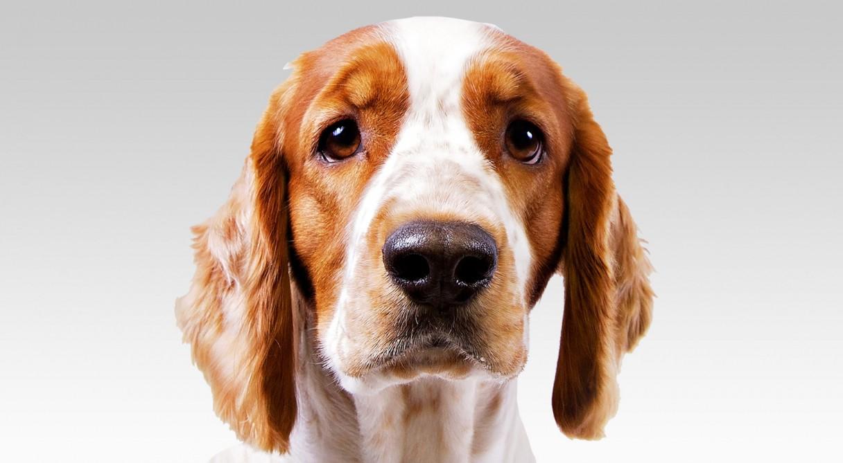 Welsh Springer Spaniel Dog Breed Information - American ...