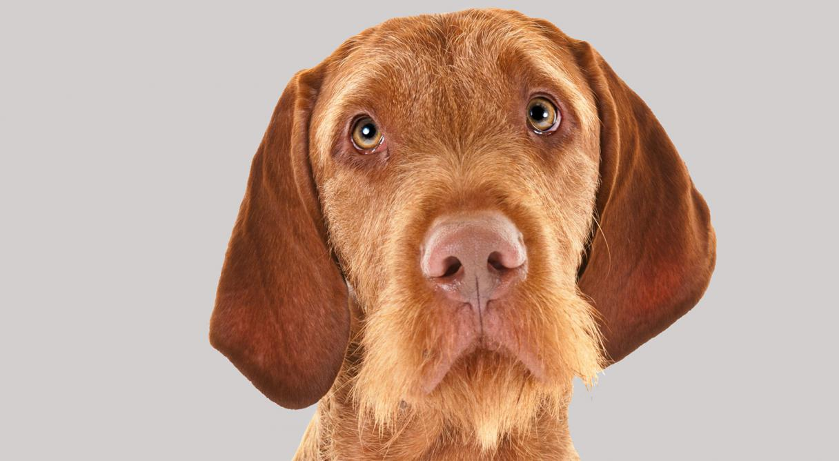 Wirehaired Vizsla Dog Breed Information American Kennel Club