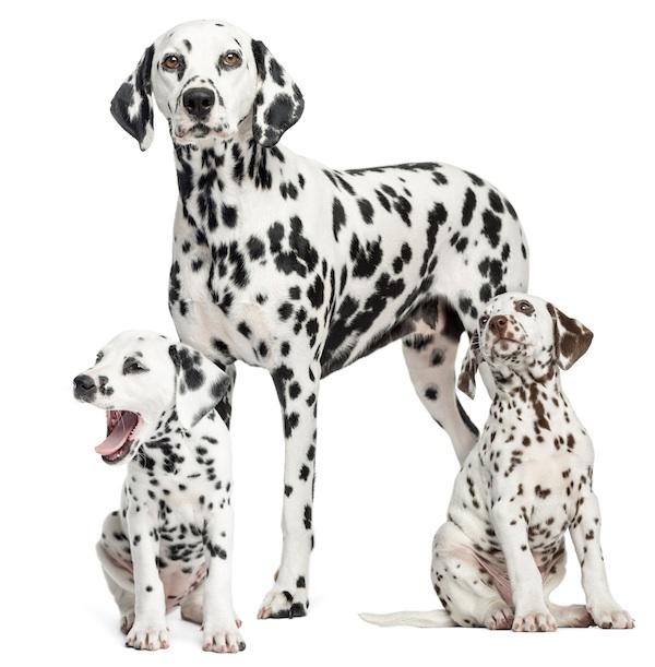 Dal adulto y cachorros