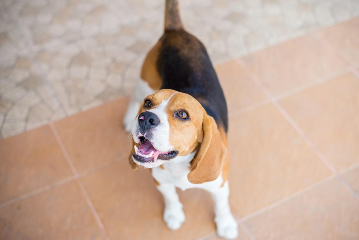 beagle presta atención
