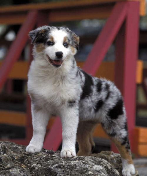 [aussie cute puppies]
