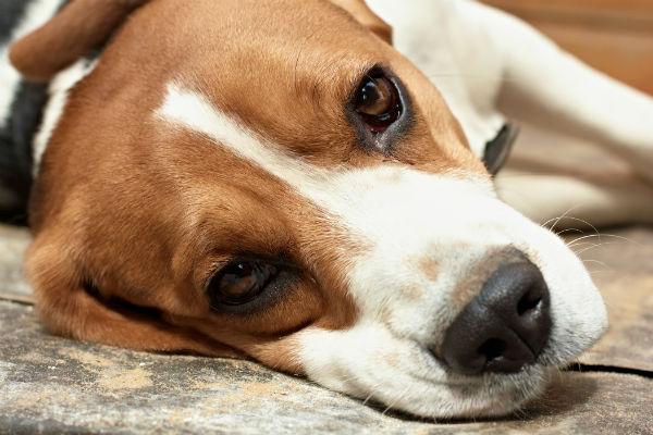 beagle enfermo con hinchazón o GDV