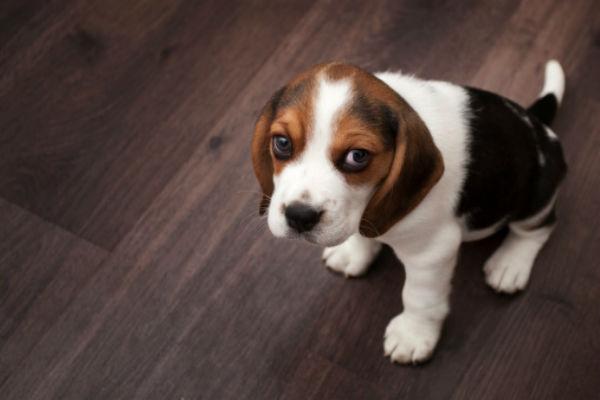 cuerpo de beagle