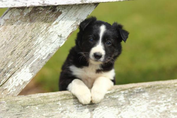 [border collie cute puppies]