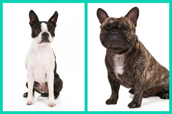 boston terrier and french bulldog can you tell these dog breed look alikes apart american 3481