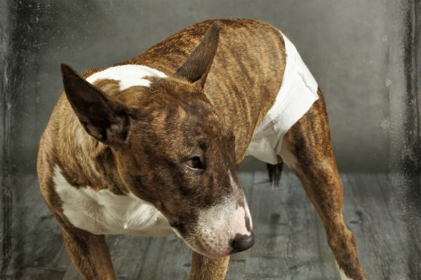 bull terrier con pañal para perro
