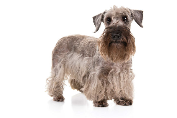 imagen corporal de cesky terrier