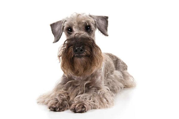 imagen corporal de cesky terrier 2