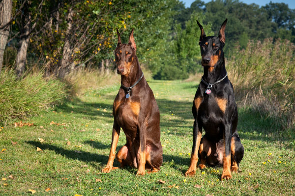 House Guard Dog Breeds
