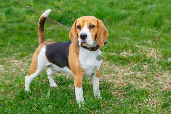 beagle walking on a leash
