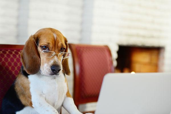 funny beagle