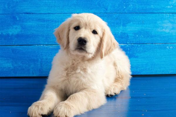 Cachorro de oro