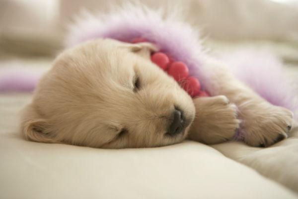 cachorro golden retriever durmiendo