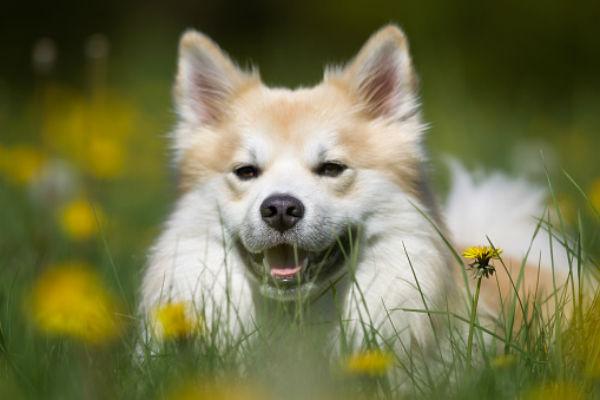 Perro pastor islandés