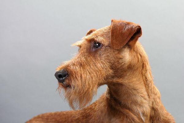 Terrier irlandés 1