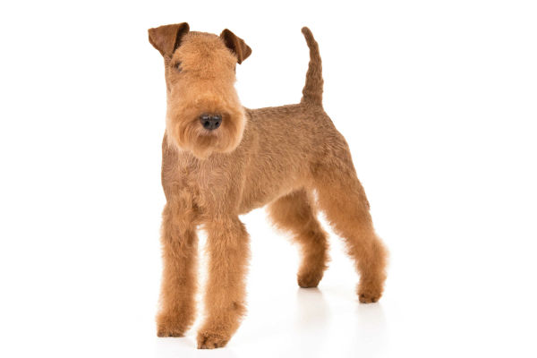 westmoreland terrier 6 things you didn t know about the lakeland terrier 800