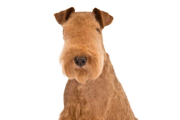 Lakeland Terrier 3