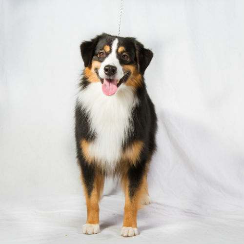 Keeping Up With The Miniature American Shepherd – American Kennel Club