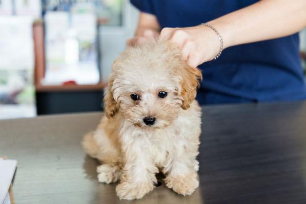 veterinario cachorro parvo