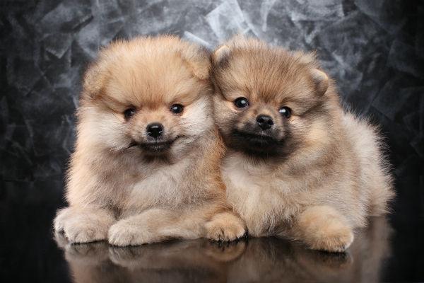 cachorros de pom