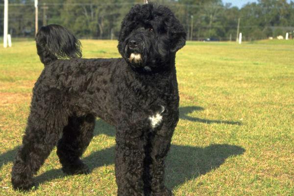 portugesewaterdog_water_breeds
