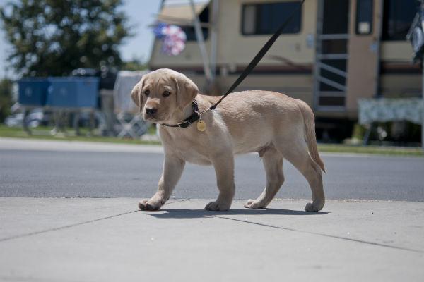 puppy walking on a leash