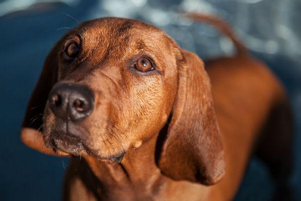 coonhound1 de Redbone