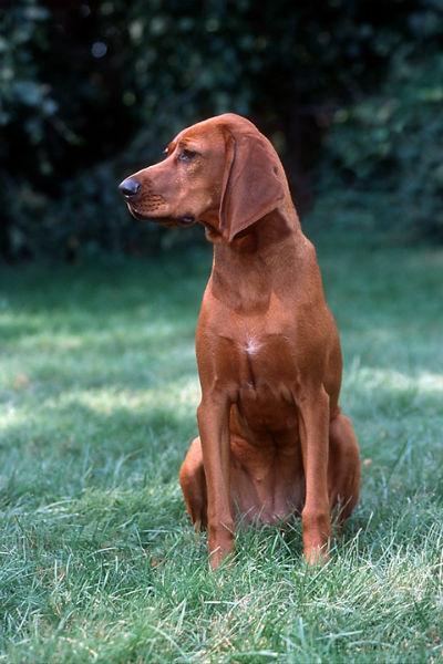 coonhound2 de Redbone